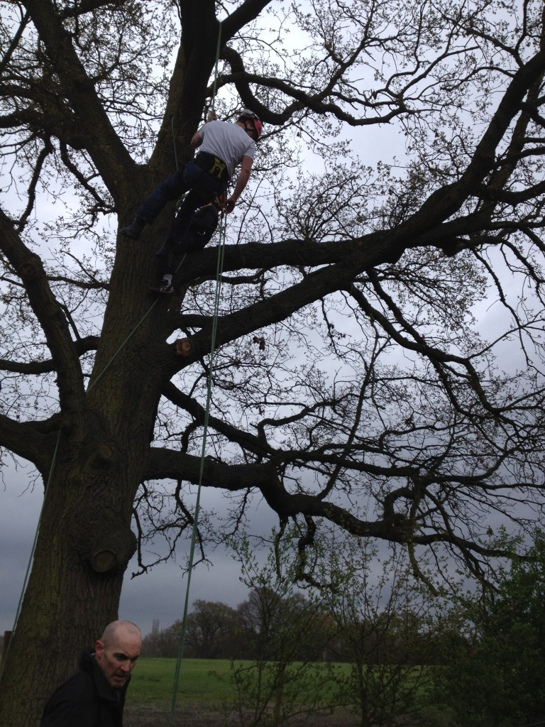 Climbing On A Large Oak