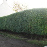 AFTER - Privet Hedge - Oct 2012
