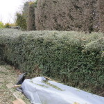 AFTER - Lonicera-Hedge - March 2013