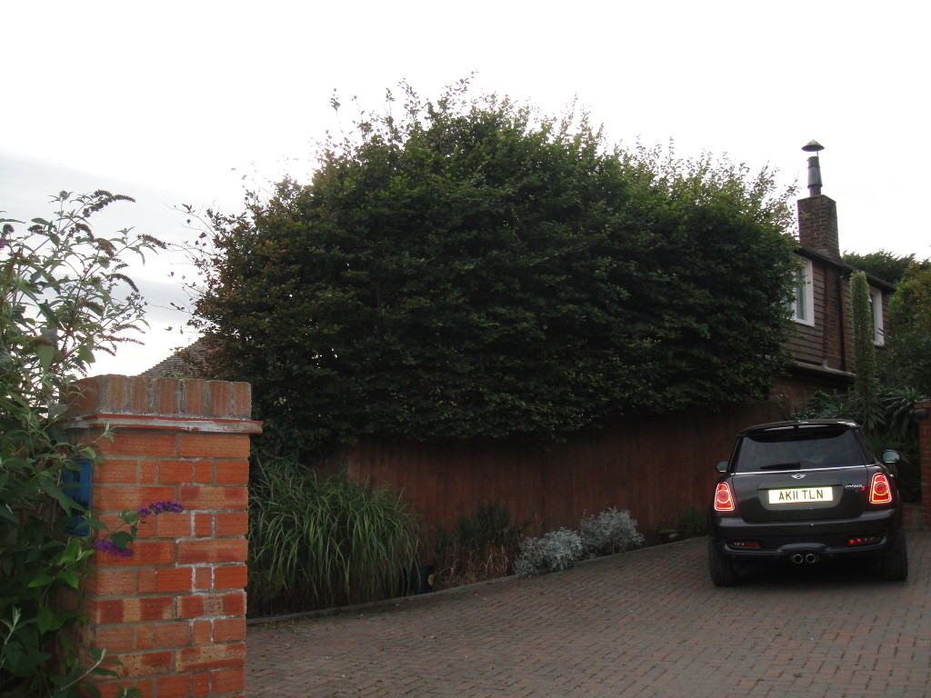 BEFORE - Large Beech Hedge - Sept 2012