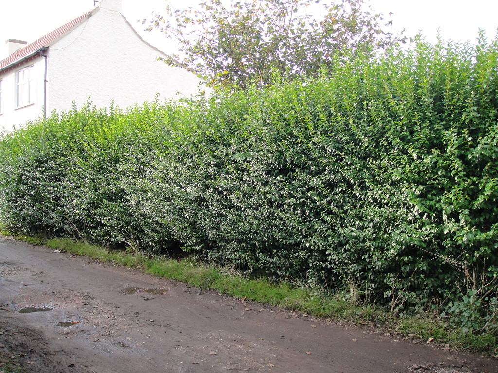BEFORE - Privet Hedge - Oct 2012