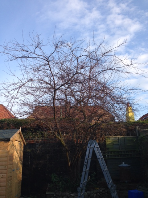 BEFORE - Small / Medium Cherry Tree Looking A Bit Messy & Leggy - Jan '17