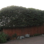 AFTER - Large Beech Hedge - Sept 2012