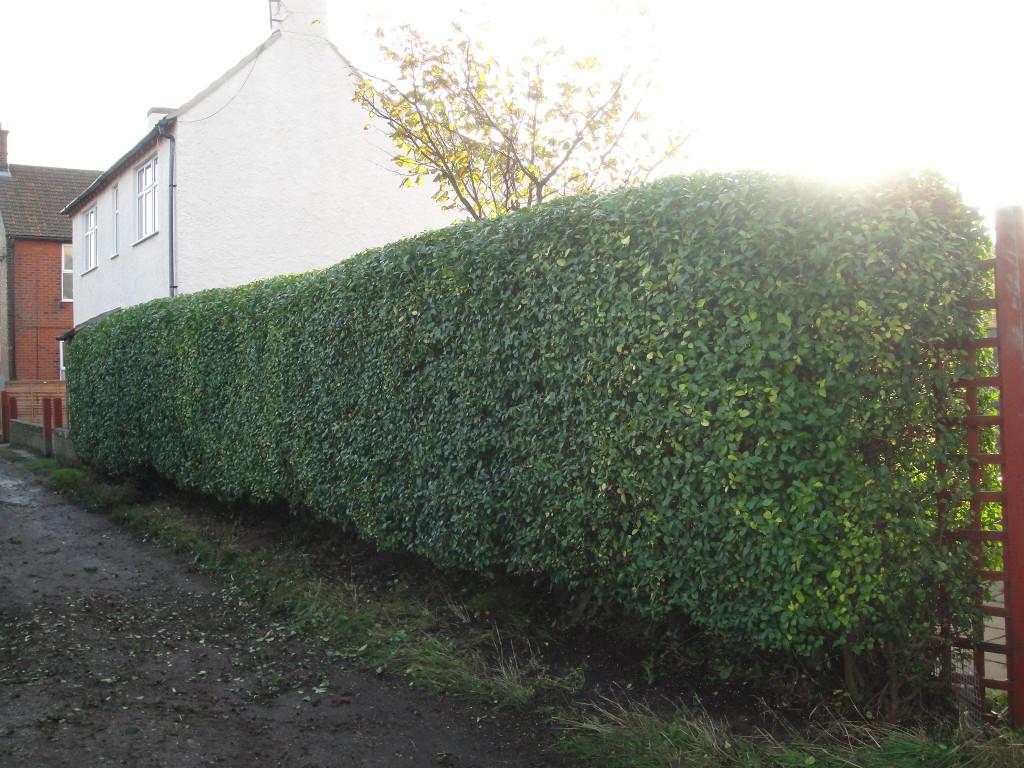 2.AFTER - Privet Hedge - Oct 2012