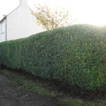 2.AFTER - Privet Hedge - Oct 2012