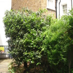 AFTER - Bay Tree Reduced To Bush - July 2012