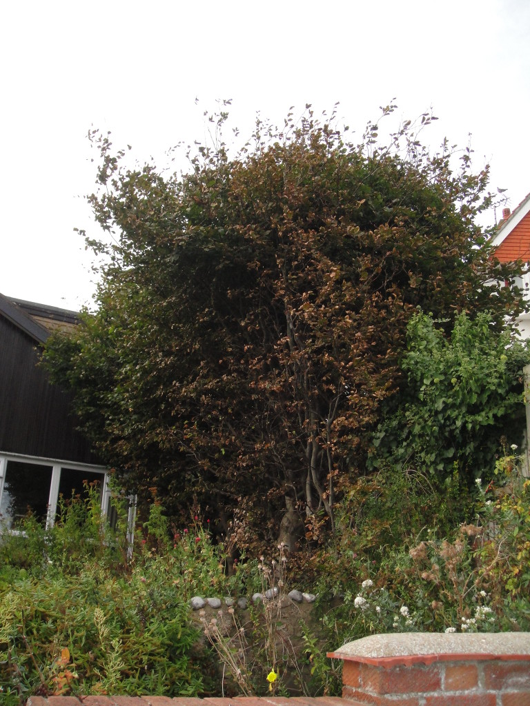 2.BEFORE - Large Beech Hedge - Sept 2012