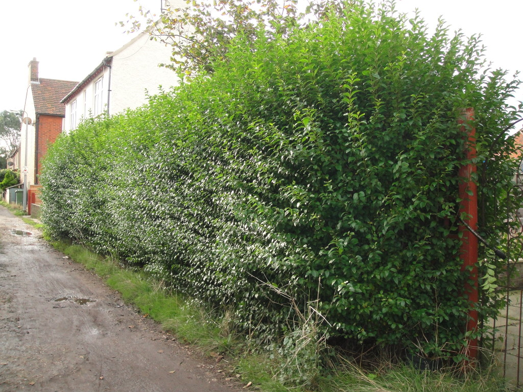 2.BEFORE - Privet Hedge - Oct 2012