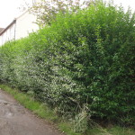 2.BEFORE - Privet Hedge - Oct 2012