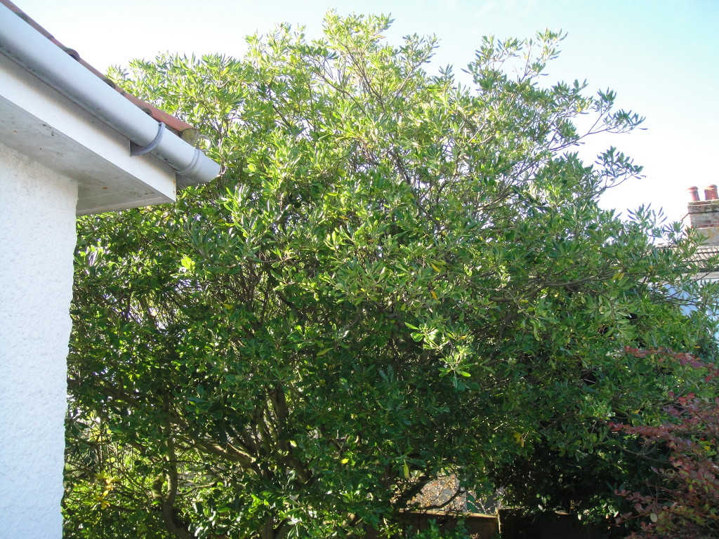 BEFORE - Magnolia (Type) Tree - Nov 2012