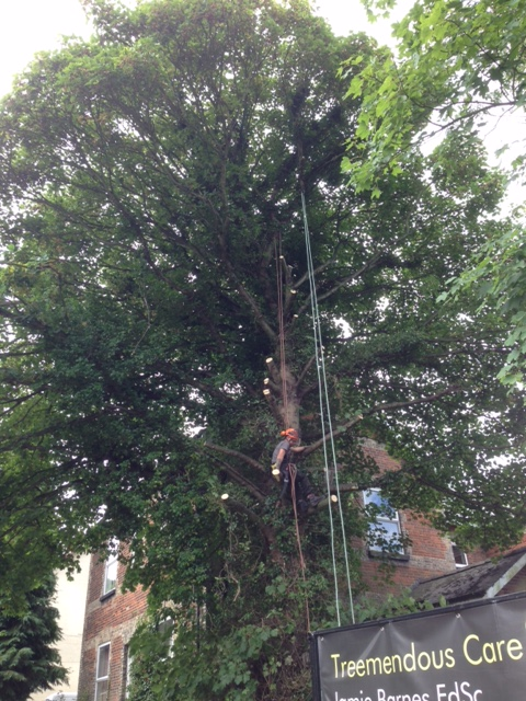 1.Jamie Starting To Remove Branches From Very Large Sycamore - Aug '17