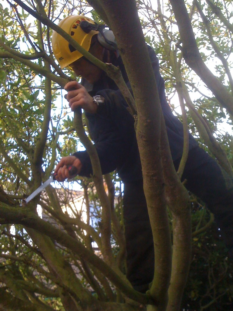 Lifting & Reducing A Magnolia Tree