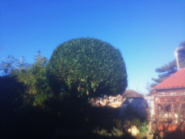 AFTER -  Bay Tree Reduced In Height By Around 5ft & Dome Shaped - Jan '17