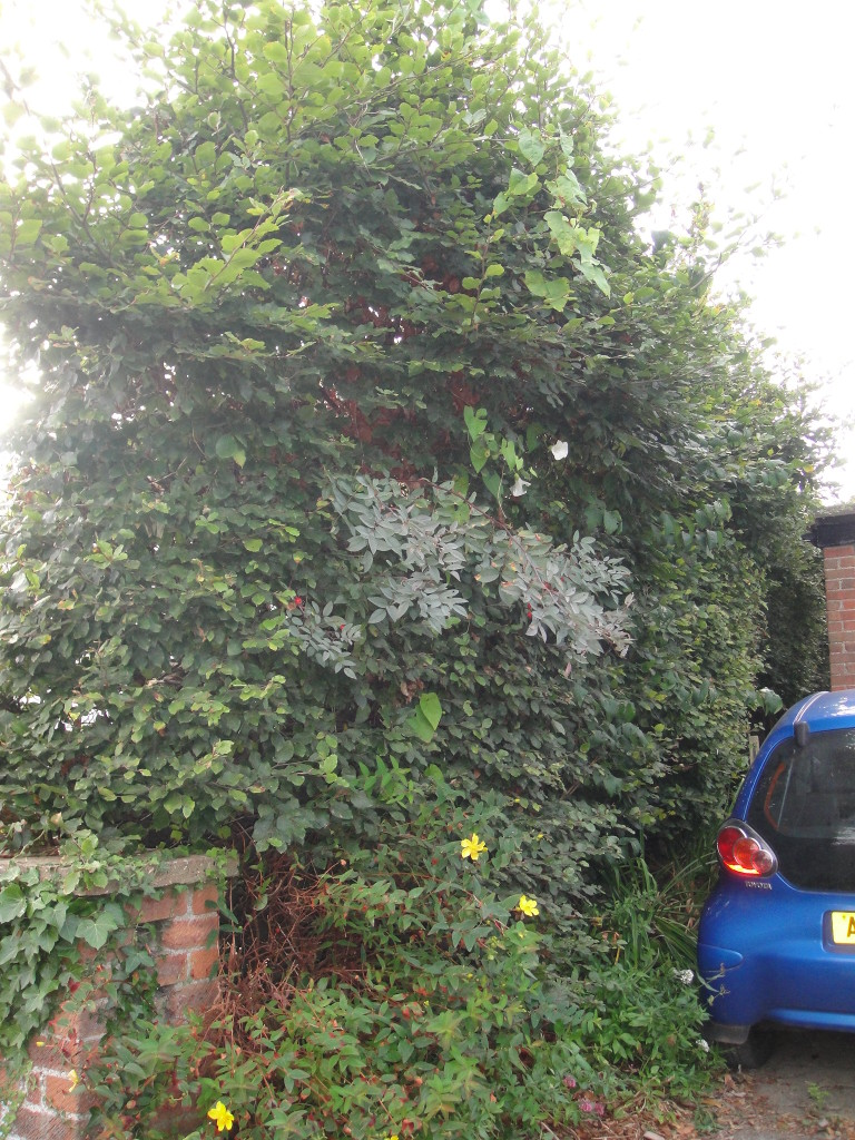 BEFORE - Beech Hedge - Sept 2012