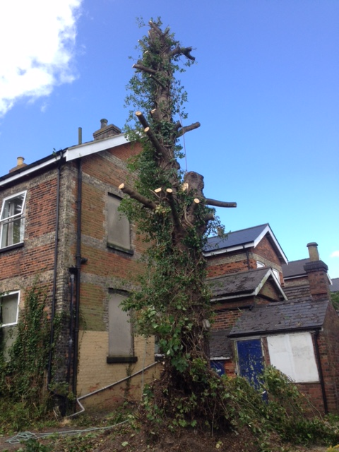 2.All Branches Removed & One Of The Two Main Stems Felled.