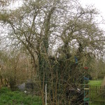 BEFORE - old garden tree covered in ivy and basal shoots - April '13