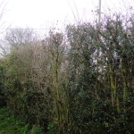 BEFORE - Large mixed variety hedge - April 13