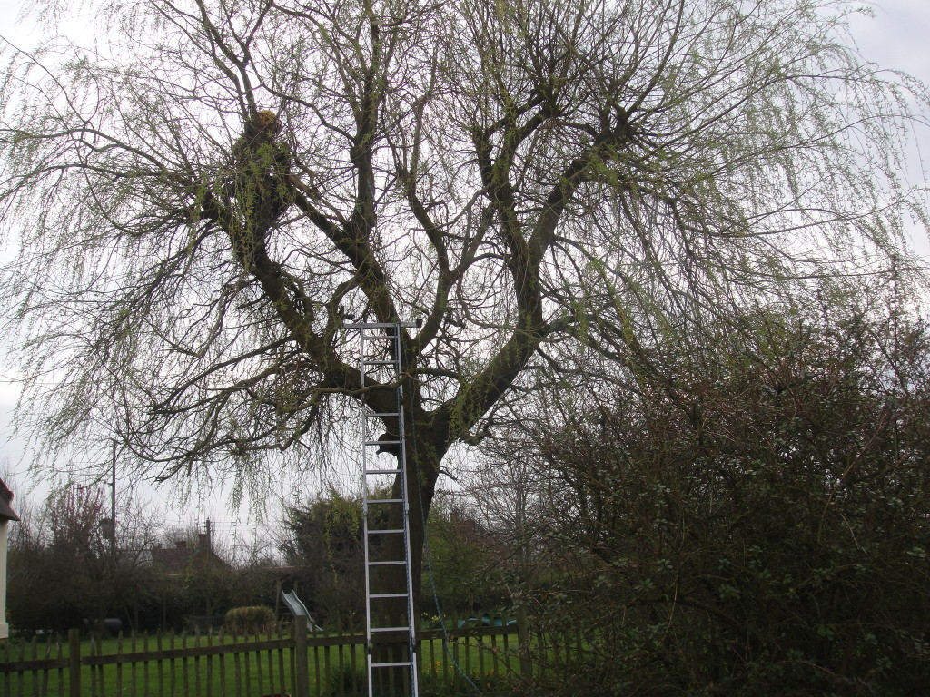 Working on a Willow Tree
