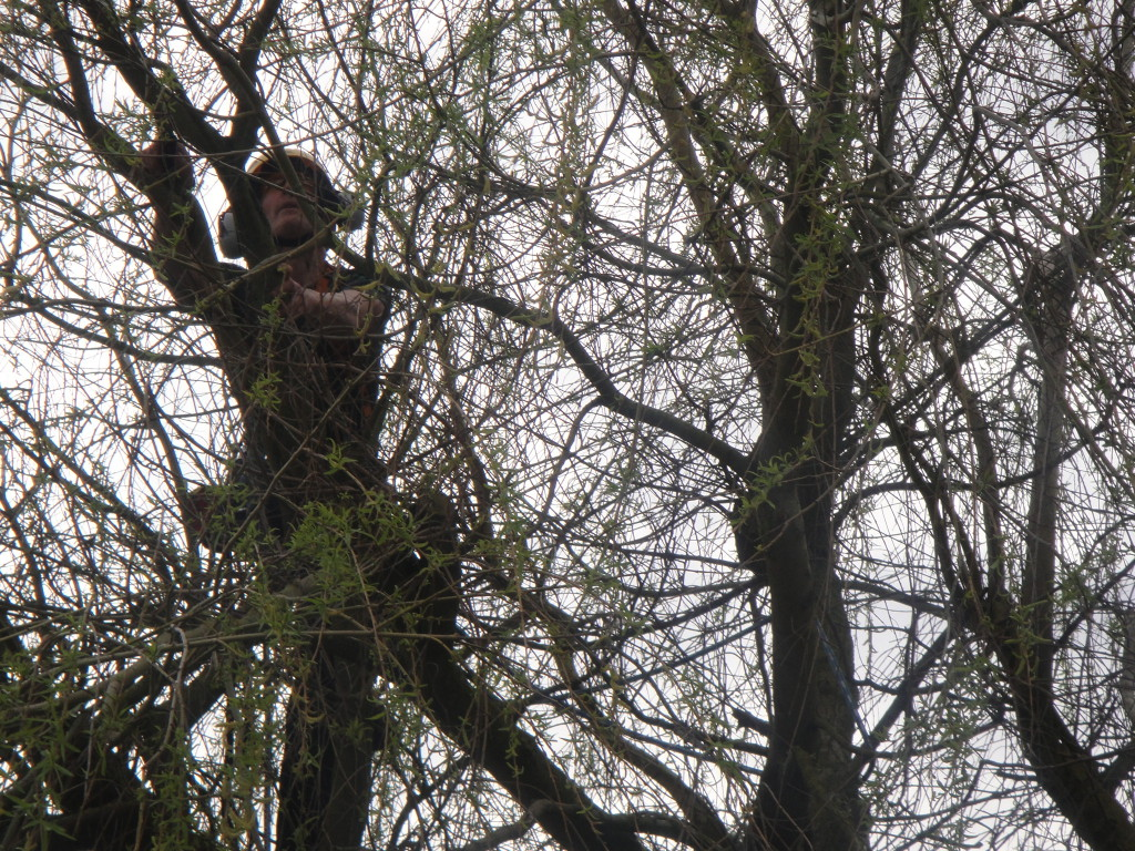 Using hand saws on a Willow Tree