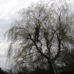 Up a Willow Tree