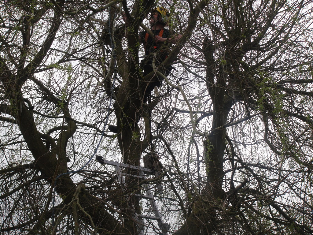 Working on a Willow with my chainsaw