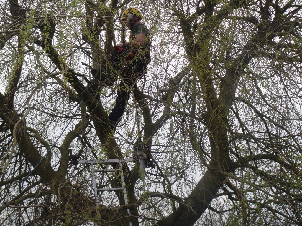 Up a Willow Tree with chainsaw