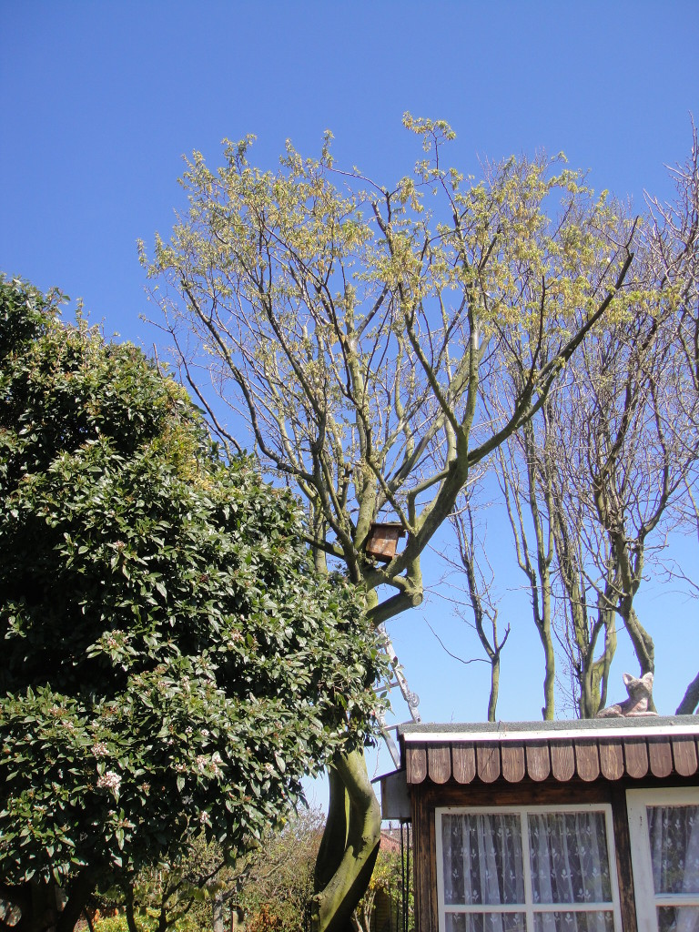 AFTER - Medium Garden Tree Reduced & Thinned - May '13