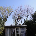 Reducing a small Mulberry Tree