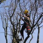 Using loppers up the tree