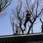 Using loppers to reduce a Mulberry Tree