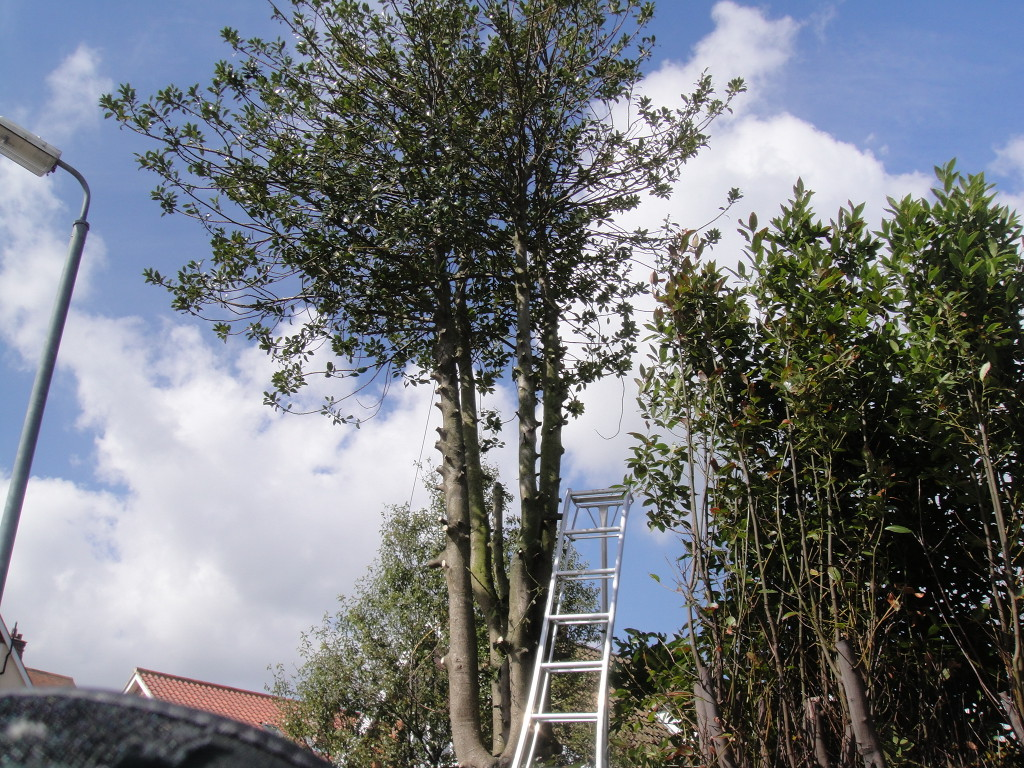 Holly Tree - Lower Branches Removed