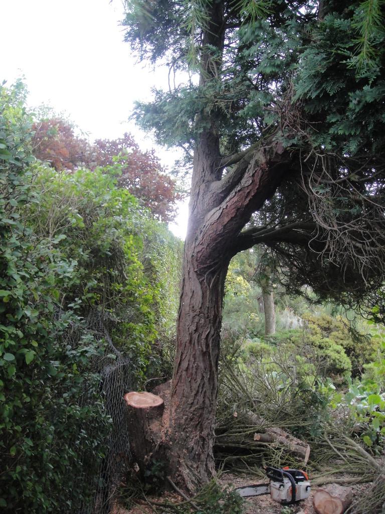 AFTER - Dead Stem Removed & Damaged Stumps Cut Back - Aug,13