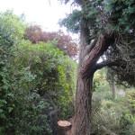 Dead Stem Removed & Damaged Stumps Cut Back
