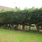 BEFORE - Leylandii Hedge Consisting Of 10 Trees - Sept '13
