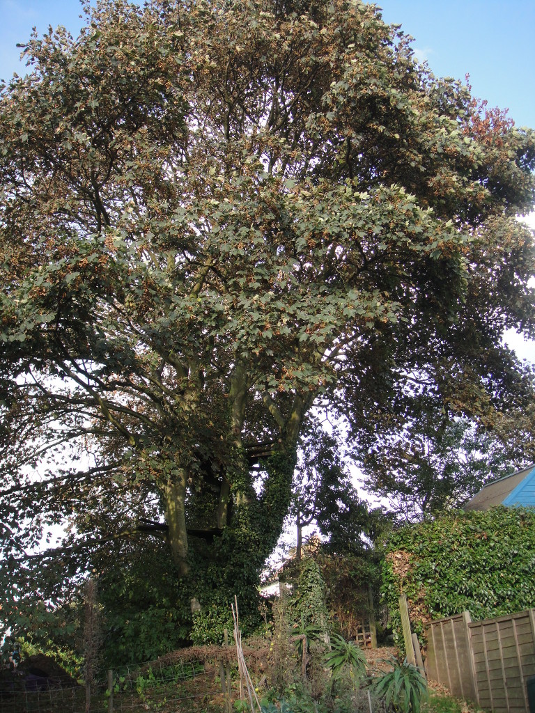 BEFORE - Large Sycamore ( In Leaf) With Lower Branches Blocking The Light - Oct'13