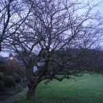 BEFORE - Apple Tree Needing A Good Crown Lift & Reduction - Feb 14