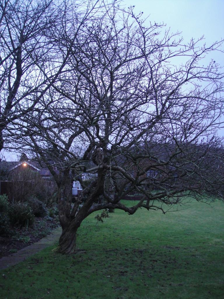 BEFORE - Apple Tree Needing A Good Crown Lift & Reduction - Feb 14