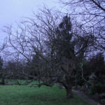 BEFORE - Apple Tree Needing A Crown Lift & Reduction - Feb 14
