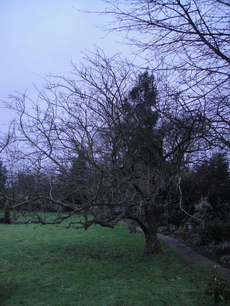 BEFORE - Apple Tree Needing A Crown Lift & Reduction - Feb 14