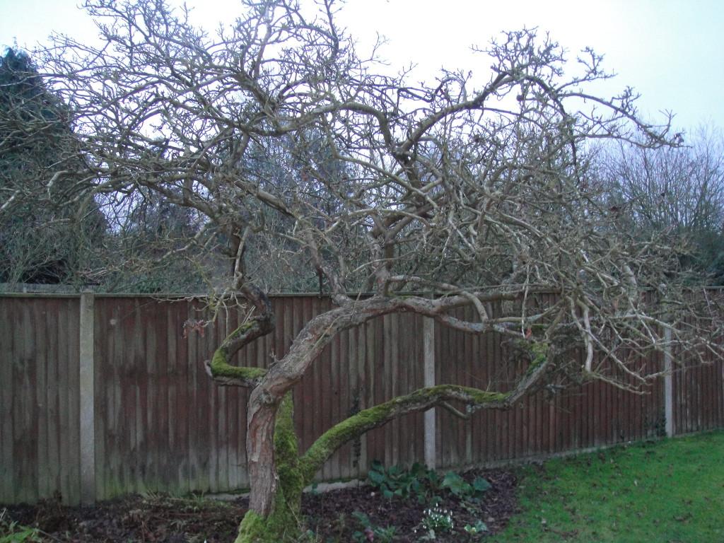 BEFORE - Old Apple Tree Needing Some Good Pruning - Feb 14