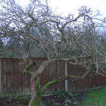 BEFORE - Old Apple Tree Needing Some Good Pruning - Feb 14