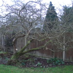 BEFORE - Old Apple Tree Needing Some Good Quality Pruning - Feb 14
