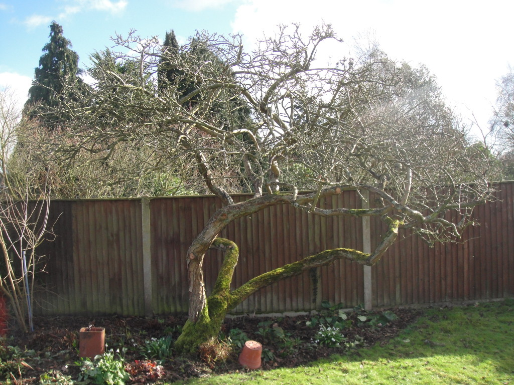 AFTER - Old Apple Tree Lifted And Thinned - Feb 14