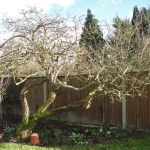 AFTER - Old Apple Tree Lifted & Thinned - Feb 14