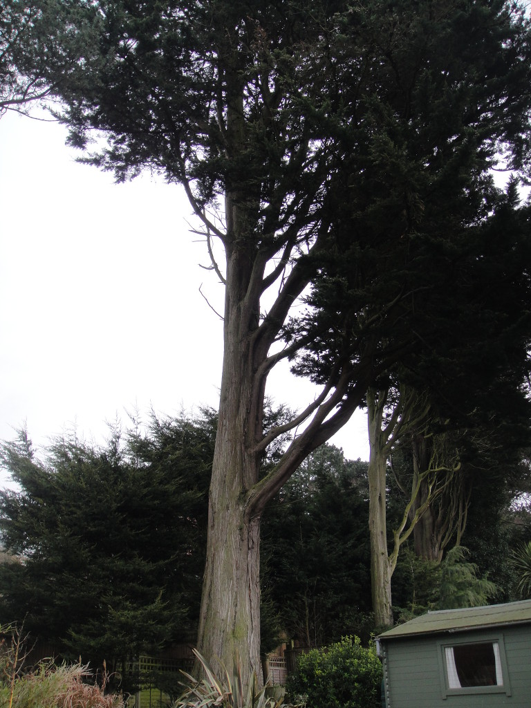 BEFORE - Large Cypress Tree With Large Lower Branches Overhanging Summer House - Apr '14