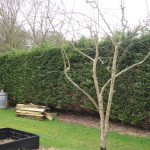 BEFORE - Large Leylandii Hedge To Be Dismantled - Mar '14