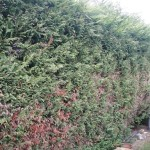 BEFORE - Large Leylandii Hedge Ready To Be Dismantled - Mar '14