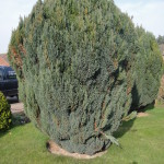 1.BEFORE - Two Cypress type tree/bushes to be dismantled - Apr '14