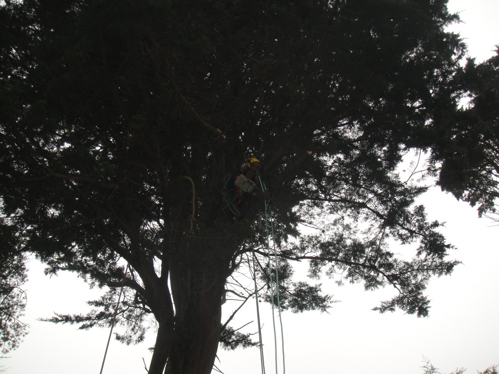 Taking lower branches off a large Cypress Tree