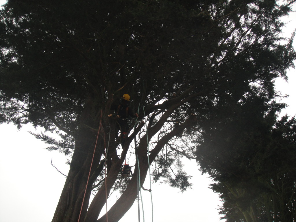 Working in a large Cypress Tree